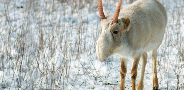 saiga winter